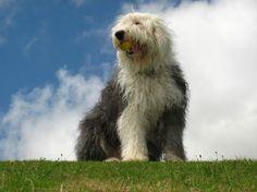 Dog Bobtail (óangol juhászkutya): történelem, szín, természet, tartalom és egészség (+ kép és videó)