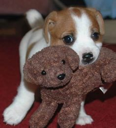 JRT puppy with his toy dog Kittens And Puppies, Cute Dogs And Puppies, Baby Puppies, Maltese Puppies, Doggies, Jack Terrier, Jack Russell Terrier, Jack Russell Puppies, Cute Baby Animals