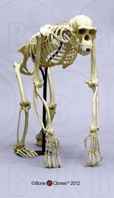 Articulated Chimpanzee Skeleton - Bone Clones, Inc. Animal Skeletons, Animal Skulls, Skeleton Bones, Skull And Bones, Human Skeleton Anatomy, Carnivore, 3d Model Character, Animal Anatomy, Pet Monkey