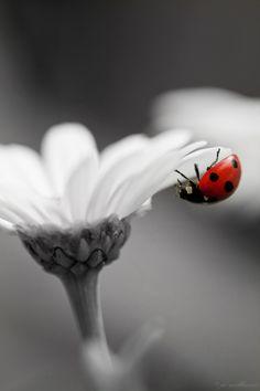 Ladybug on a white flower Macro Photography, Love Photography, Black And White Photography, Splash Photography, Wildlife Photography, Black White Red, Black And White Pictures, Color Splash, Color Pop