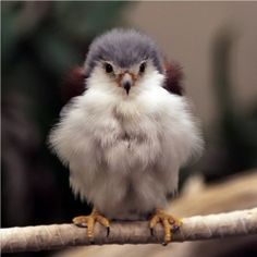 Baby Falcon... SO MUCH FLUFF!