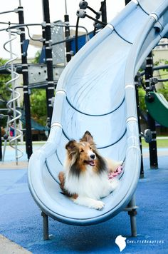 Sheltie dog, playing at the park.