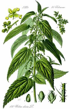 Herbal Medicine Nettle Root May Help Multiply the Effectiveness of Your Androgens: - Stinging Nettle Root extract can help to naturally prevent male hormones converting to estrogen. Buy high-quality Nettle Root powder online here. Healing Herbs, Medicinal Plants, Illustration Botanique, Wild Edibles, Kraut, Herbal Medicine, Medicine Bag, Botanical Prints, Herbal Remedies