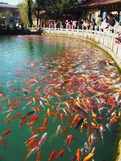 Best koi pond ever. Beautiful Fish, Animals Beautiful, Pretty Fish, Goldfish Pond, Cool Fish, Japanese Koi, Pond Design, Koi Carp, Fish Ponds