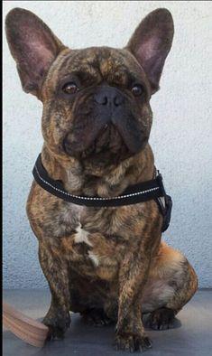 Handsome Brindle French Bulldog.