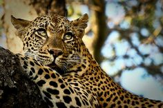 What a lovely leopard, they are not easy to spot, but the longer you spend in Africa the better your chances.  Come and see it with Nomad - www.nomadtours.co.za