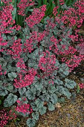 Click to view full-size photo of Rave On Coral Bells (Heuchera 'Rave On') at Echter's Nursery & Garden Center
