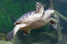 Pig-Nosed Turtle.