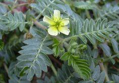 """Tribulus terrestris flower Sri Lankan name """"heen nerenchi"""""""