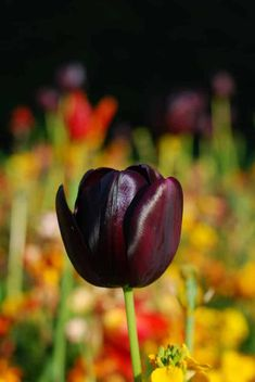 Black flowers add a lot of intrigue & drama. Here are some choices & what you need to know to grow these dark beauties in your own garden.