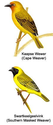 Image result for kaapse vink Westerns, Cape, Birds, Google Search, Animals, Mantle, Cabo, Animales, Animaux