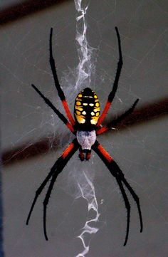 vaquitanc: Black-and-yellow Argiope. August 4, 2012 I have come to appreciate the beauty of a spider and even think that it's been given such a bad rap. The gorgeous intricacies of a spun web and the...