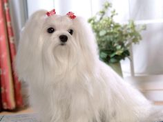 Image detail for -Maltese Dogs wallpaper - Dogs Wallpaper (13937311) - Fanpop fanclubs