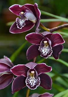 Cymbidium Fascella 'Ruby' | Flickr - Photo Sharing!