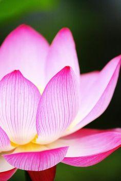 Pink Lotus - tiny veins in the petals