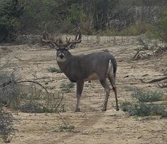 5.5 year old Whitetail buck----How to age deer on the hoof