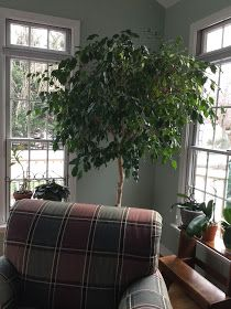 Just One Donna!: Five Keys to Growing A Healthy Ficus Tree Big Indoor Plants, Indoor Trees, Potted Trees, Trees To Plant, Ficus Tree Outdoor, Outdoor Pots, Ficus Tree Care, Growing Tree, Growing Plants