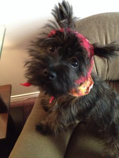 Kipper my Cairn Cairn Terriers, Terrier Dogs, Terrier Mix, Norwich Terrier, Dog Things, Poodle Mix, Crazy 8, Cutest Animals, Scottish Terrier