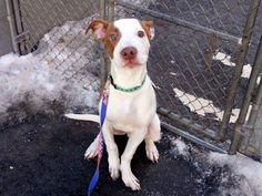 TO BE DESTROYED - 03/04/15 Manhattan Center~~PUPPY ALERT!!~~  My name is OTTO. My Animal ID # is A1027596. I am a male white and tan am pit bull ter mix. The shelter thinks I am about 5 MONTHS old.  I came in the shelter as a STRAY on 02/09/2015 from NY 10029, owner surrender reason stated was NO TIME. https://www.facebook.com/photo.php?fbid=960208133992066
