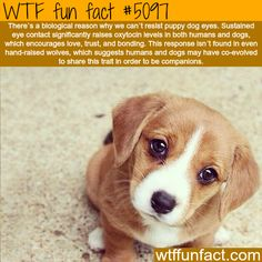 Why we can't resist puppy dog eyes - WTF fun facts | See more DIY projects/lifehacks here gwyl.io/