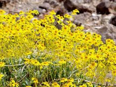 Encelia farinosa  Brittlebush, Goldenhills, Incienso in full flower. It will do this in most of Southern California with no irrigation. - grid24_12