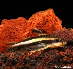 Raphael Catfish. These cats are peaceful with other tank mates except for maybe very small ones. Though crepuscular they will come out and feed if they sense food in the tank. They are mostly inactive during the day time. They also are Not aggressive towards congeners.