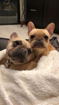 French Bulldogs ❤️