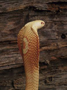 Fotos de Natureza: Cobra Naja