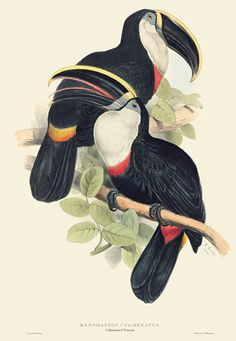Culminated Toucan - Edward Lear