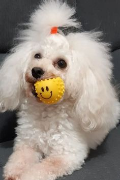 Poodles are considered to be the best breeds to own as there are extremely sensitive and much attached. Poodle puppies are one of the cutest and eye-catching puppies ever. #poodlepuppy #poodlepuppytraining #poodlepuppies #cutepoodlepuppies #dogsandpuppiespoodle #dogsandpuppies #cutedogs Poodle Mix Puppies, Dogs And Puppies, Cute Dogs, Poodles, Pets, Animals, Animales, Standard Poodles, Animaux