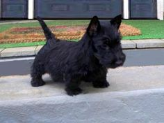 Bringing scottie home.  his father's name was Angus.  he was a good boy all the way home and was so little his ears were still floppy.   Scottie puppies.
