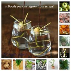 15 FOODS YOU CAN REGROW FROM SCRAPS!