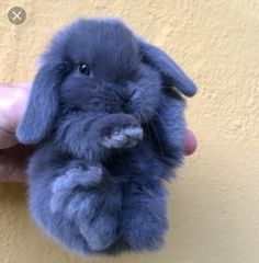 I LOVE blue bunnies... Smudge was this colour as a baby <3