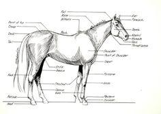 11 best Horse Anatomy images on Pinterest | Horse anatomy, Animal ...