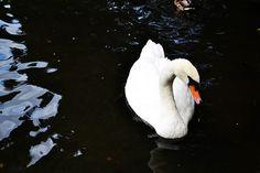 Swan in Dublin Zoo.