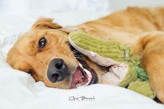 Had to stitched his alligator daily :) #crazyeyes #goldenretriever #goldenboy #favoritetoy #dog #doglove #doglife #dogmodel #dogsitting #dogoftheday #doginbed #dogphotography #dogproblems #dogportrait #dogphotographer #yeg #yegpets #yegdogs #yegdogsitting #yegphotographer #yegphotography #edmonton #edmontonphotographer #edmontonphotography #edmontondogphotographer #edmontondogs #like4like #follow4follow