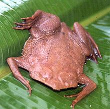 The Surinam toad or star-fingered toad (Pipa pipa) is a species of frog in the Pipidae family. Its natural habitats are subtropical or tropical moist lowland forests, subtropical or tropical swamps, swamps, freshwater marshes, and intermittent freshwater marshes. It is threatened by habitat loss.
