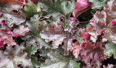 Chocolate Ruffles heuchera