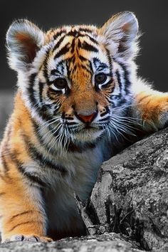 Animals Tiger Baby Tiger Wallpaper - Your HD Wallpaper (shared via SlingPic) Big Cats, Cats And Kittens, Cute Cats, Siamese Cats, Beautiful Cats, Animals Beautiful, Majestic Animals, Cute Baby Animals, Animals And Pets