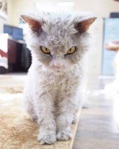 Albert – Le chat mouton toujours en colère (image)