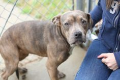 Tag 255 is an adoptable Pit Bull Terrier Dog in Columbus, GA.  ...