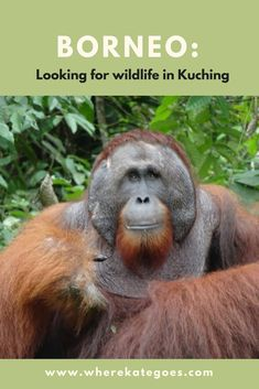 Borneo is home to several amazing and rare species of animals, such as orang-utans and proboscis monkeys. But being able to see them for yourself is very easy from Kuching. Here I explain how to see these eliciting animals whilst staying in Kuching. Rare Species Of Animals, Kota Kinabalu, Kuching, Budget Travel, Travel Tips, Countries To Visit, Borneo, Asia Travel, Monkeys