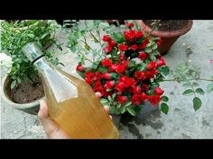 ADD THIS TO YOUR ROSES AND YOU WILL BE SHOCKED - YouTube