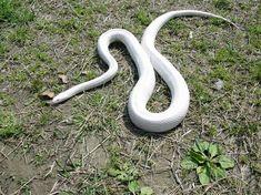 大神神社の白蛇   動物 > 爬虫類・両生類の写真   GANREF