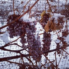 Snow on the grapes at Monte Creek Ranch, Vineyard, Snow, Fruit, Pictures, Guest Ranch, Photos, The Fruit, Eyes
