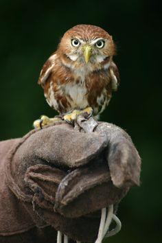 little Owl                                                                                                                                                                                 More