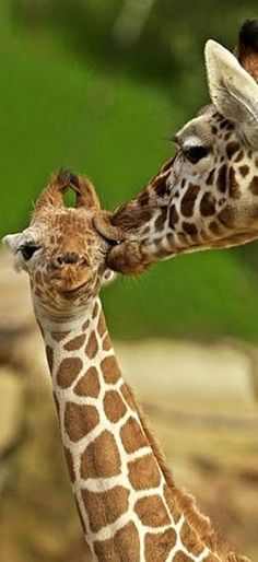 photo ... mama giraffe and baby ... have to laugh at the look on the baby's face ...