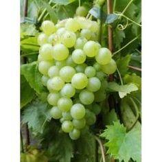 Mitschurinski blaue Traube pilzfeste kernarme süße Weinrebe im 9 cm Rechtecktopf