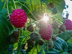 Raspberries in the sun by Waldemar Sadłowski