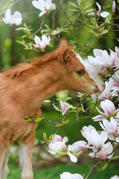 Sweet little Haflinger foal smelling magnolia blossoms. (Karolina Wengerek)